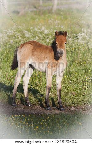 a foal of the swedish breed gotland pony