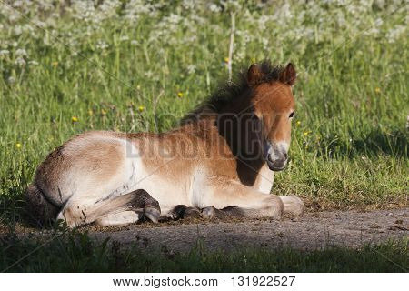 a gotland pony foal in the pasture