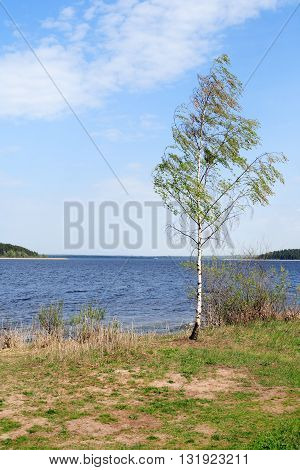 Summer landscape. One birch near lake against blue sky with clouds