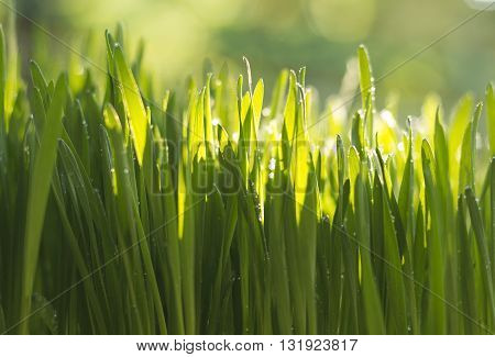 Fresh green wheat grass organic with drops dew