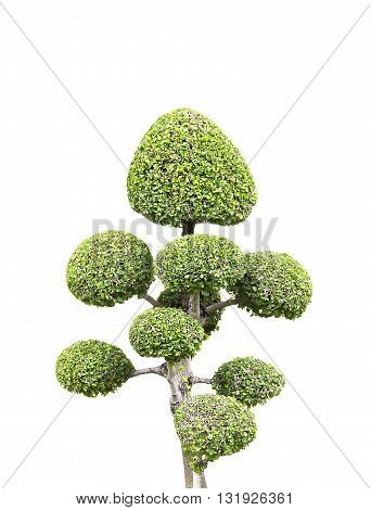 tree with white background general decoration in the traditional garden