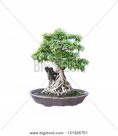 bonsai banyan tree with white backgroundgeneral decoration in the traditional garden