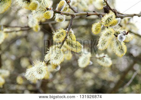 many flowers fluffy willow in the spring