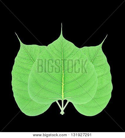Green bodhi leaf isolated on black background