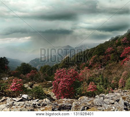 Blooming rhododendron forest against the background of mountain ranges of Himalayas. Ukhimath Uttarakhand India