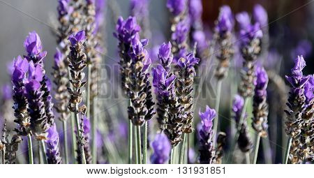 Close up of purple lavender in sunshine