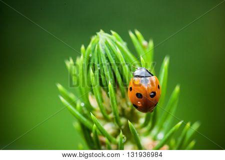 Macro photography of ladybird. Spring close up