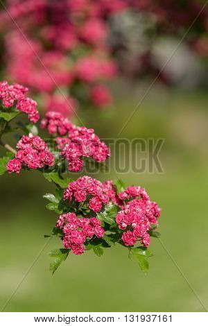 Flowers Pink Hawthorn. Tree Pink Hawthorn