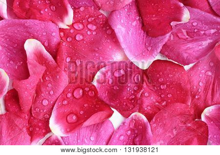 Pink rose petals close-up, wet, water drops, fresh aromatic background.