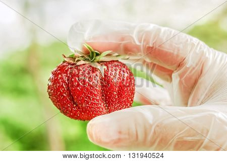 Big red ripe strawberry in fingers with gloves