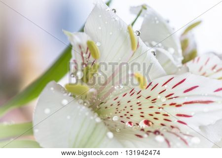 Beautiful Alstroemeria Flowers With Water Drops