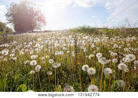 spring landscape with white dandelions.