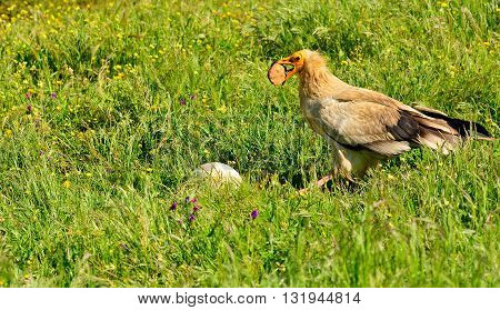 Egyptian Vulture With A Stone In Its Beak.