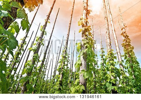 traditional hop field with hop-pole at sun down