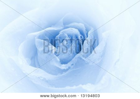 Close-up shot of a rose bud with water drops on petals (toned in blue)
