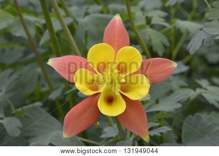 Yellow And Orange Aquilegia In Garden