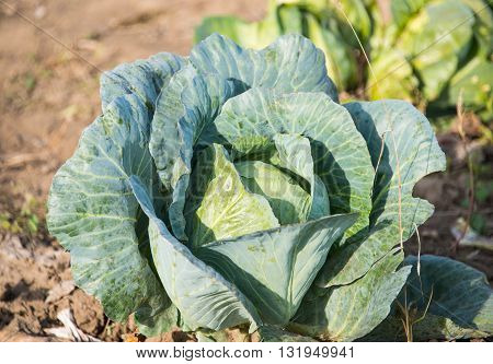 At the farm cabbage growing in the garden