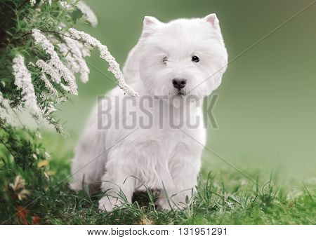 West Highland White Terrier puppy in outdoore