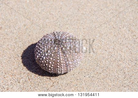 Bumpy skeleton of purple sea urchin on a beige sand background.