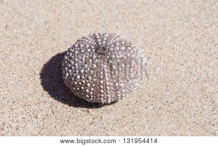 Purple sea urchin skeleton on a sandy background with shadow in Western Australia.