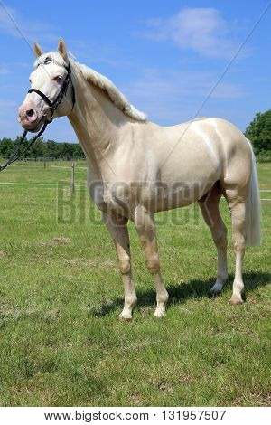 Thoroughbredcremello Horse With Bridle Against Blue Sky Background