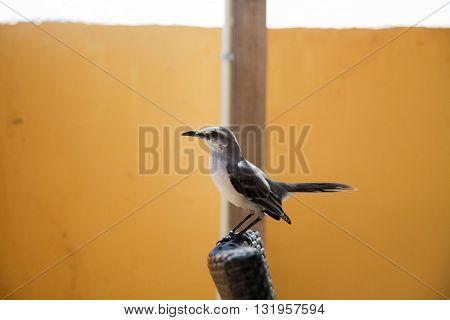 Tropical Mockingbird (Mimus gilvus rostratus) perched on a chair