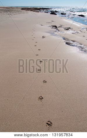 Paw prints in the sand at Jake's Point beach with Indian Ocean waters in Kalbarri, Western Australia.