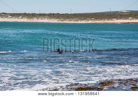 Heron flying over the turquoise Indian Ocean waters at Jake's Point in Kalbarri, Western Australia.