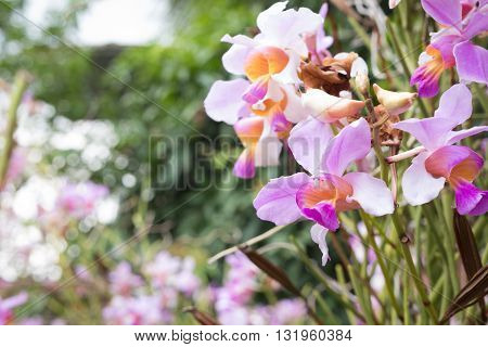 Beautiful Wild Flower Orchid,vanda Teres Syn. Papilionanthe Teres ,rare Species Of Wild Orchids