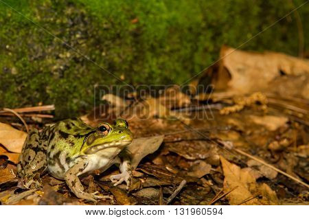 A Green Frog sitting at the edge of a small pond.