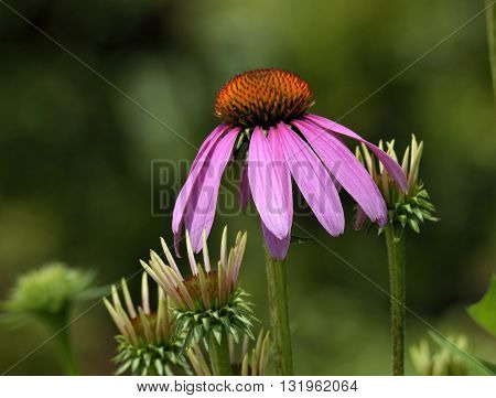 Purple Coneflower in a garden background Georgia, USA.