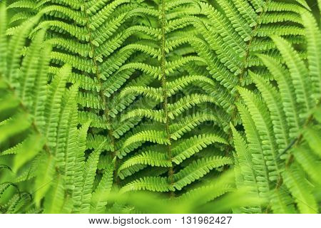 natural green bracken plant background close-up in forest