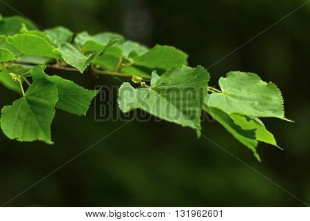 Beautiful green leaf with foliage on dark green background