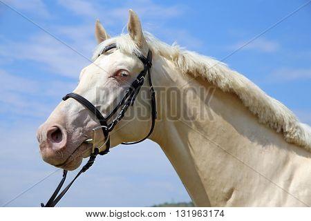 Portrait of a young purebred cremello stallion