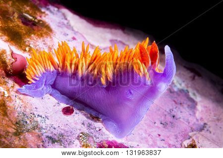 An underwater snail called a Spanish Shawl crawls over a California reef in search for food.