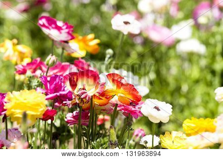 A red and yellow bunch of buttercup flower framed against a background of colorful buds and greenery.