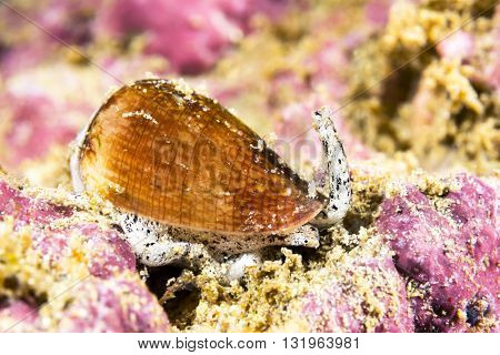 A poisonous California cone snail crawls across a reef looking for prey to paralyze and eat.