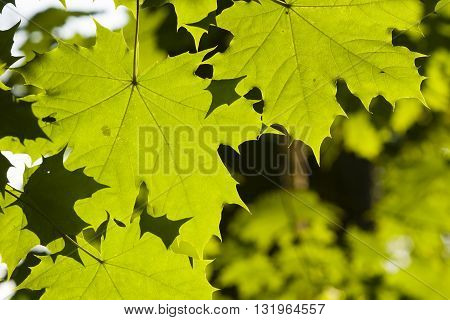 Leaves of norway maple tree in morning sunlight selective focus shallow DOF