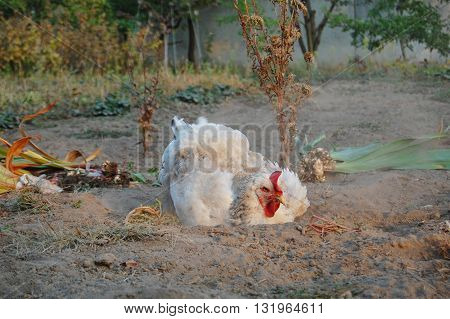 chicken in garden, farm animal at the backyard