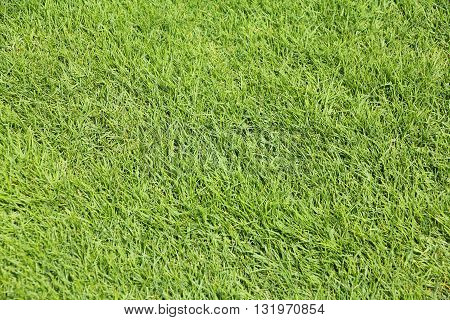 Closeup of a perfectly mown grass for green backgrounds