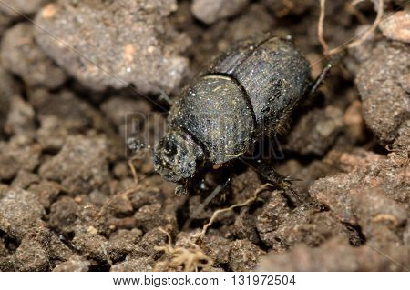 Onthophagus joannae dung beetle. Small dung beetle in the family Scarabaeidae feeding on horse poo