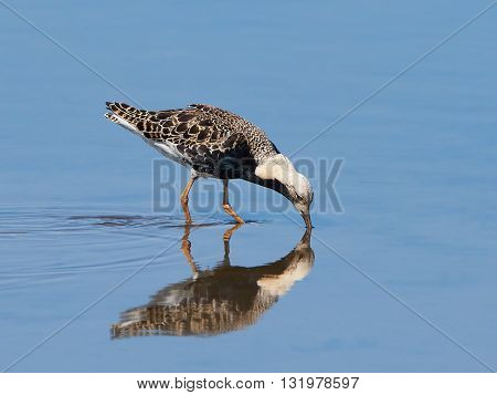 Ruff (Philomachus pugnax) standing in water looking for food in the mud