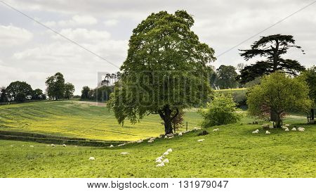Landscape Image Of Sheep Grazing Next To Rapeseed Canola Field In English Countryside