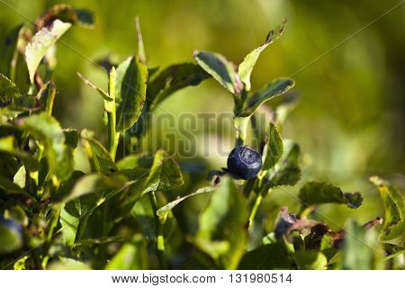 Macro photography of a delicious blueberry. Nature detail