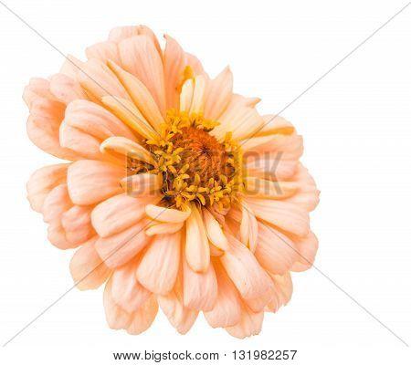 Isolated Zinnia  bright, Flower on white background