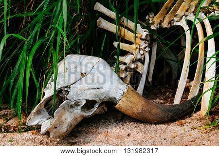 Buffalo skull in grass. buffalo, skull, dead, nature, cape,