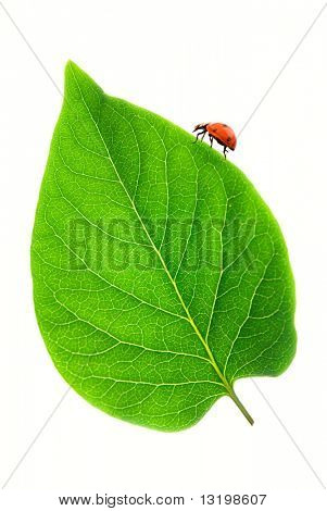 Ladybug on a fresh green leaf over white background