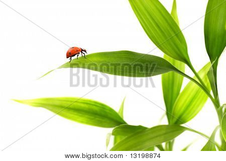 Ladybird sitting on a bamboo leaves