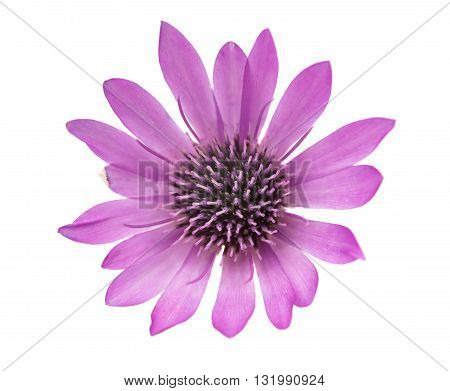 color Immortelle flower isolated on white background