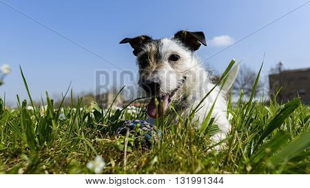 jack russell terrier dog with ball in the middle of a meadow of daisies